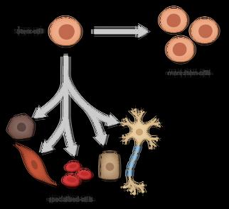 kök hücre